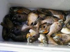 Panfish_1